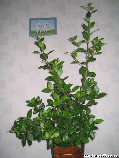 Комнатное растение лавровый лист
