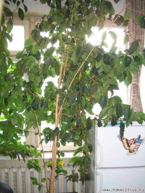 Кофе аравийское (Сoffe аrаbica) - тропический вечнозеленый кустарник или...